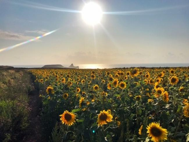 Jade Williams from Ammanford captured this photograph during a visit to the beautiful sunflower fields in Rhossili, Gower