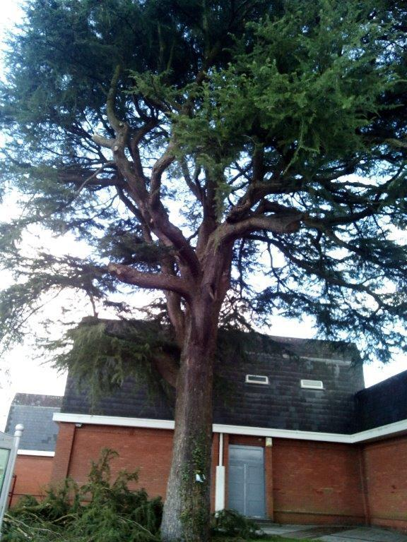 The Cedar tree near Ammanford bus station, that is due to be removed.