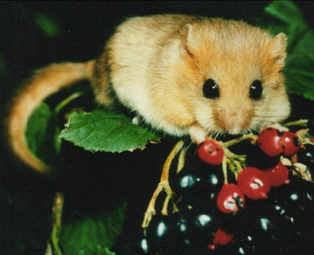 Come and join the hunt for dormice