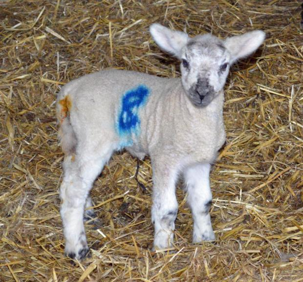 South Wales Guardian: First lambs born at Cwmcerrig