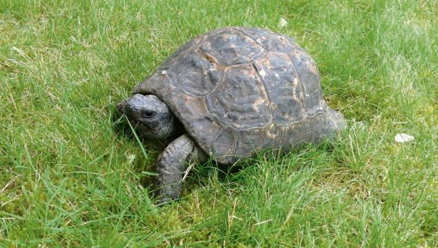 HAVE YOU SEEN THIS TORTOISE: Timothy has run away from home on College Street and his family miss him dearly.