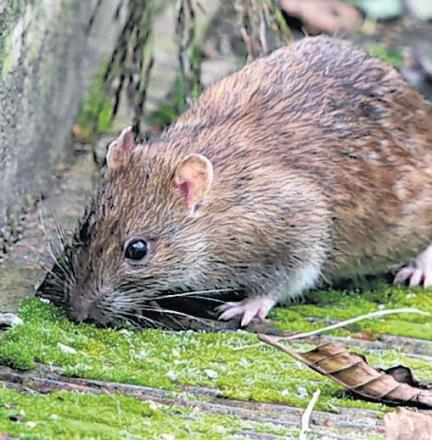 'No rat problem in Ammanford'