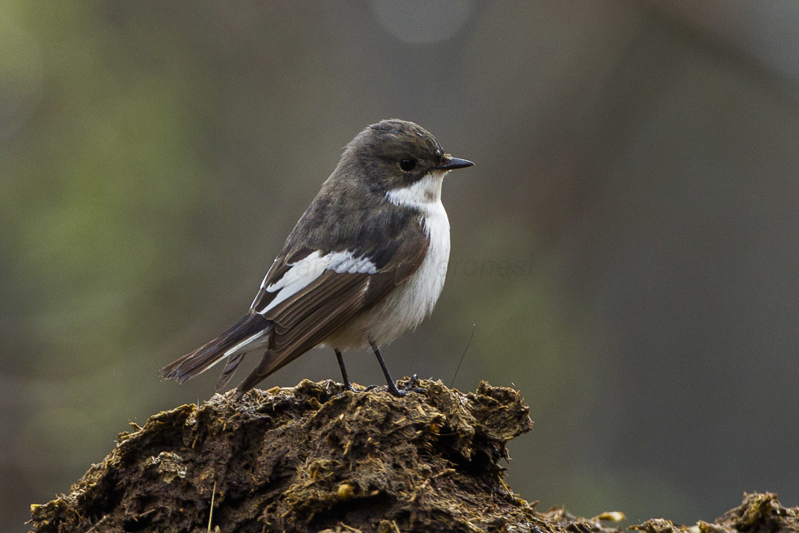 The Pied Flycatcher is one of a number of species the charity hope to monitor in the Amman Valley