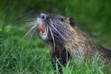 'Frustrated'biologist makes beaver management plea